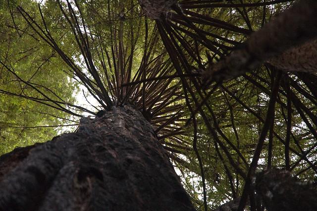 Big Basin Tree Limb Spiral