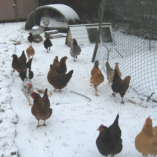 chilly chickens