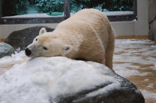 Eisbärin Vilma im Zoo Wuppertal