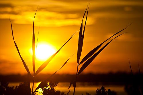 golden reeds by Matt Hovey