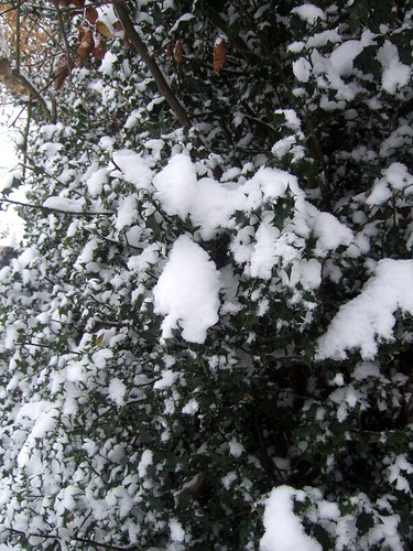 Snow Covered Holly
