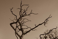 Dead Tree in Sepia