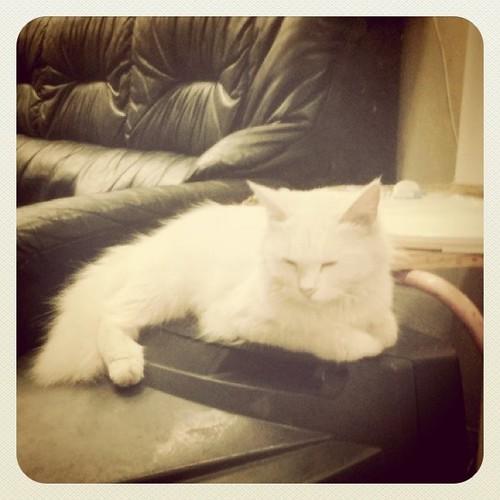 安靜的白貓