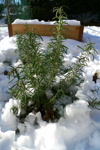 Rosemary In Winter