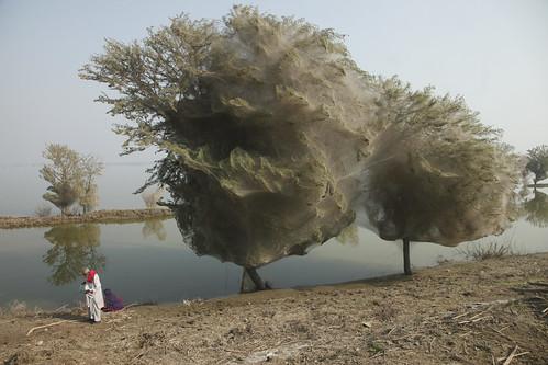 Arboles cubiertos de tela de araña en Pakistan
