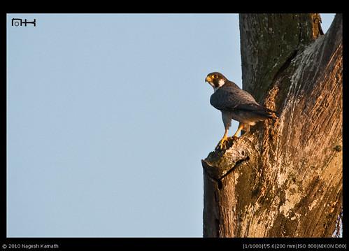 Peregrine Falcon perched | Kabini