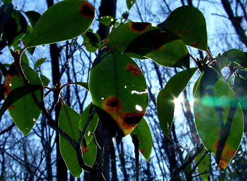 laurel leaves with solstice sun
