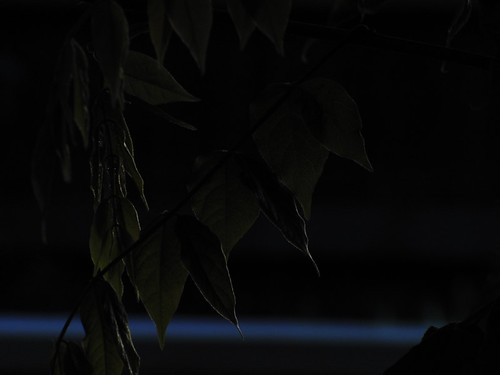 dark vine
