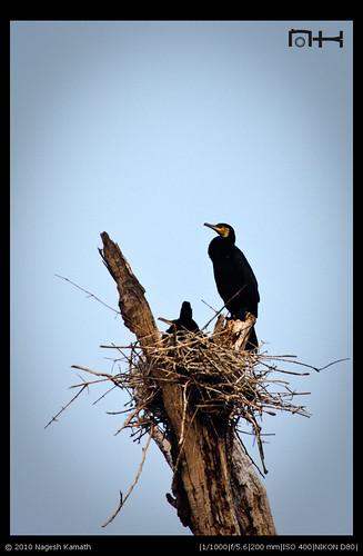 Cormorant Nest | Kabini