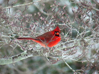 Male Cardinal -- Red Bird