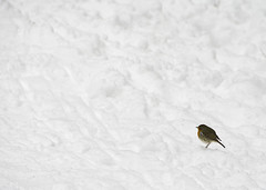 Robin the the snow