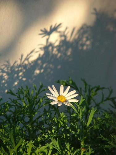 margherita (chrysanthemum maximum)