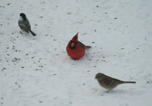 Northern Cardinal with Black-capped Chickadee and American Tree Sparrow