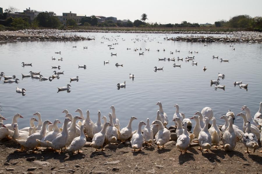20110205_12_Beautiful Duckling_01