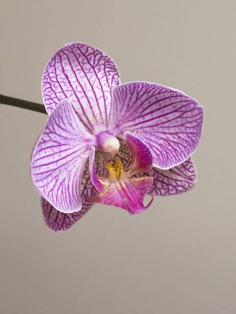 Phalaenopsis 'Matou Freed'