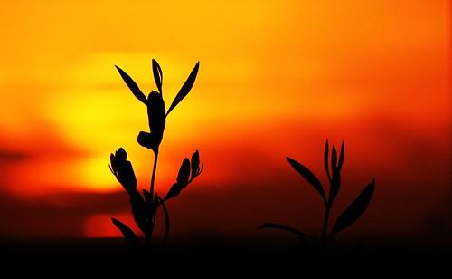 Olive Leave Sunset