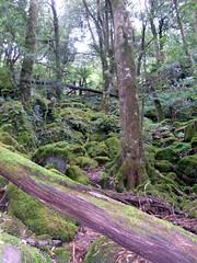 Elaeocarpus holopetalus - Mount Imlay Rainforest & Canopy (biology) | To Pursue Happiness