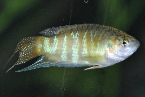 Paradiesfische_2011_00011