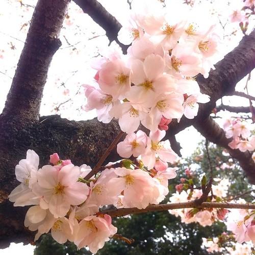 サクラサク。 近所の公園に行ったら咲いてましたよ! #sakura