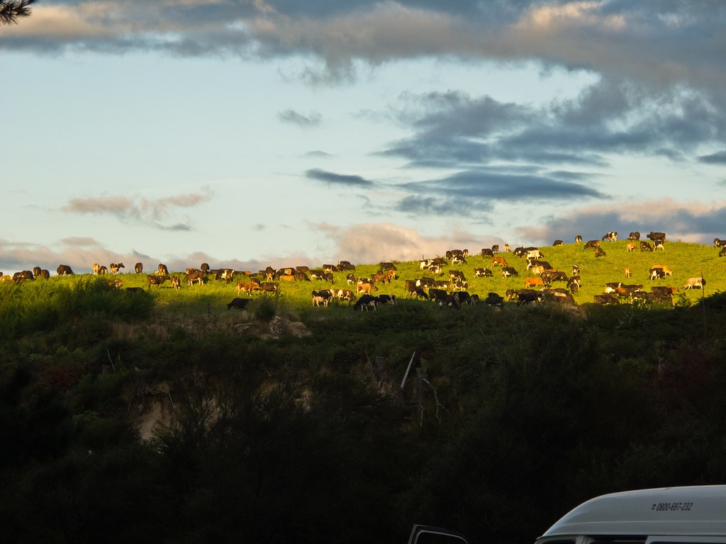 Cows seen from our camp site