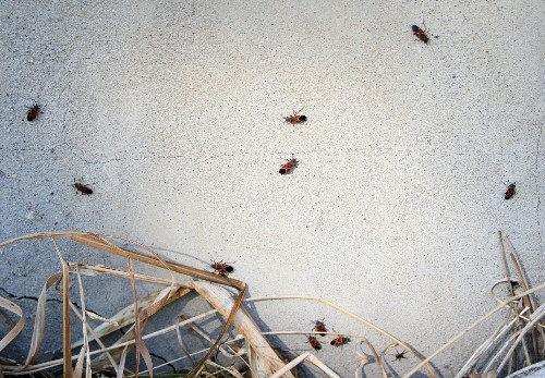 Small Milkweed Bugs