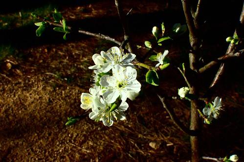 damson plum blossoms