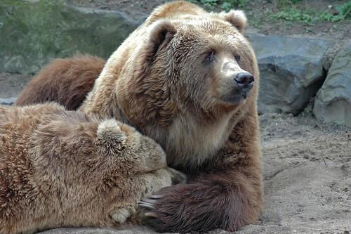 Kodiakbären im Dierenpark Emmen im April 2004