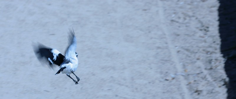 Mudlark in Flight
