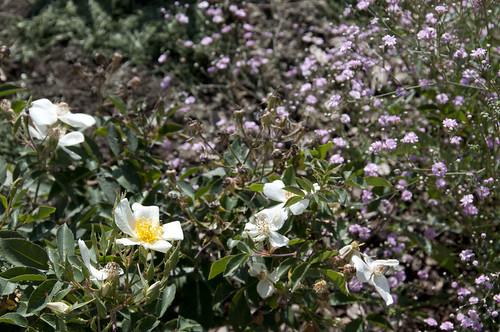 rosa moschata gypsophylla
