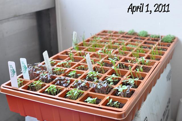 april 1 whole tray