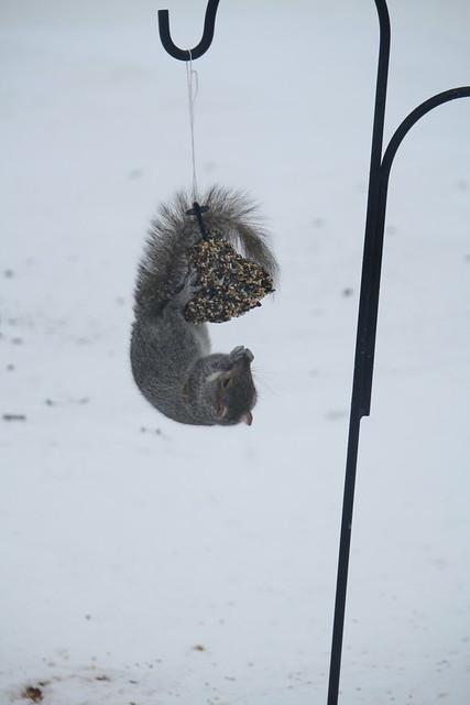 gray squirrel antics 1