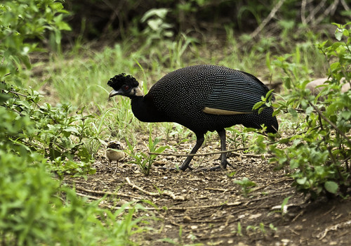 Crested Guineafowl and chick