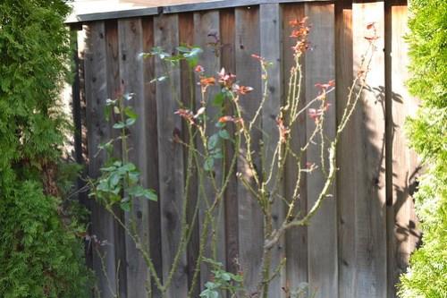 Pruned rose bushes