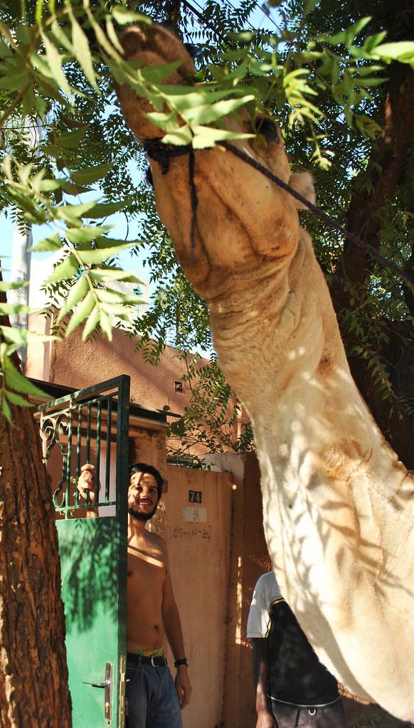 Camel at the door