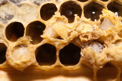 drone larvae
