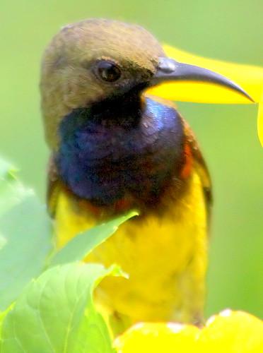 Olive backed Sunbird (nectarina jugularis) male by Thai pix Wildlife photography,,