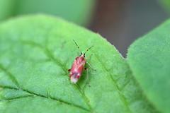 生田緑地のカメムシ(Stinkbug, Ikuta Ryokuchi Park, Kawasaki, Kanagawa, Japan, 2011)