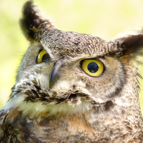 The Great Horned Owl watching the alps mountains for prey by B℮n