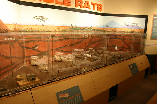 Seattle - Pacific Science Center - Naked Mole Rat Colonies (By Ryan Somma)