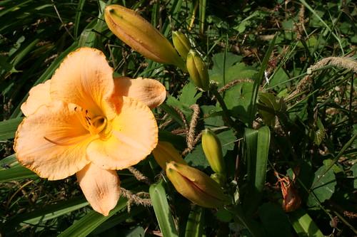 Dreamsicle orange Lily