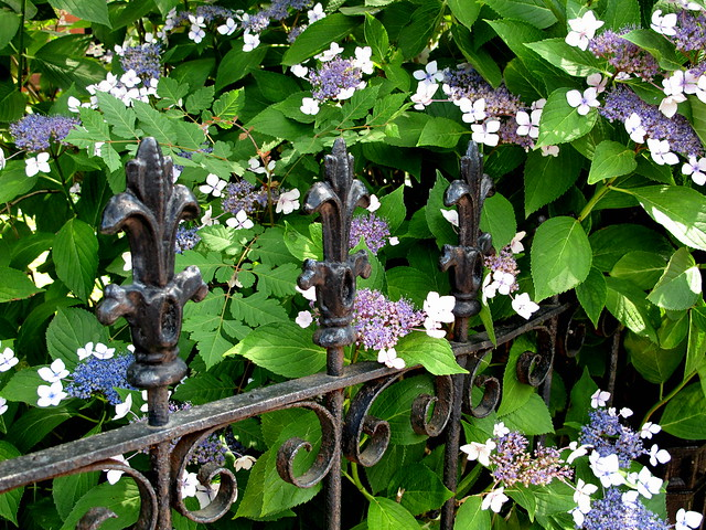 lacecaps + wrought-iron fence