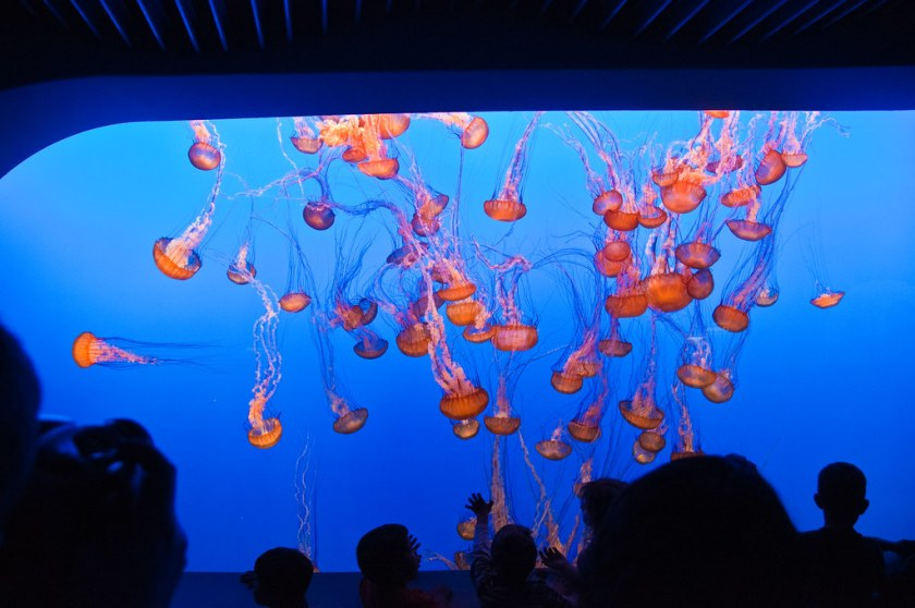 Jelly fish on display in Monterey Bay Aquarium