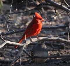 Northern Cardinal; SE of San Manuel, AZ