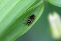 生田緑地の ハラキンミズアブ(Fly, Ikuta Ryokuchi Park, Kawasaki, Kanagawa, Japan, 2011)