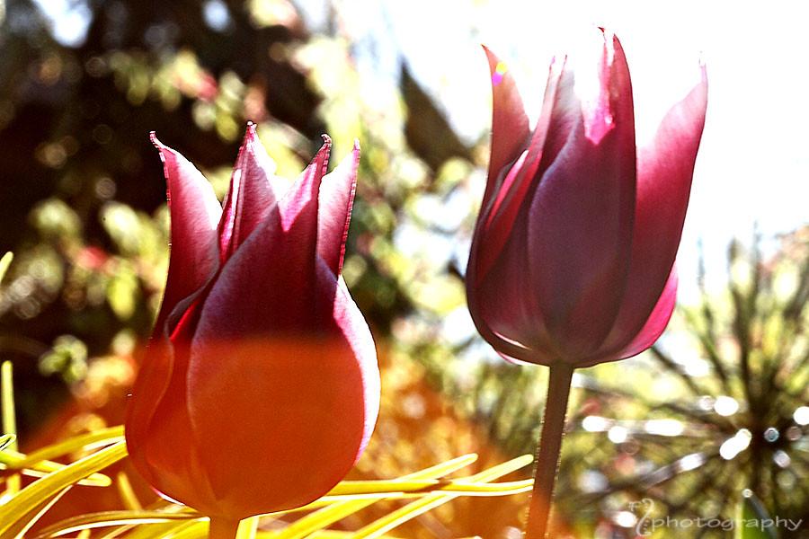 Tulip flare