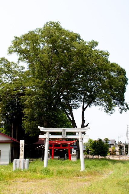 #77 Sacred Zelkova of Shirahige Shrine