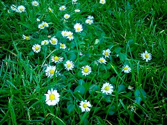 Flowers blossom even in green green grass!
