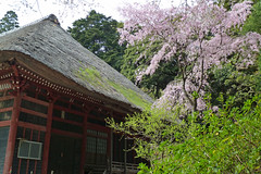 日向薬師を歩く―本殿と桜(Shrine and cherry, Hinata Yakushi Temple, Kanagawa, Japan)