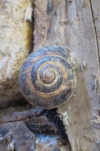 Snail shell