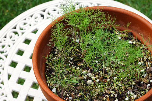 Dill-from-Seeds